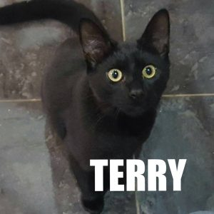 Name: Terry DOB:- 06.02.16 SEX:- Male NEUTERED? Yes COLOUR:- Black VACCINATED? TBA PREFERRED HOME:- Any home considered A WORD FROM THE CAT:-Hi my name is Terry but sometimes my foster mummy calls me Terence but she only seems to do that when I'm grabbing hold of her clothes while she's trying to get dressed at 4.30am or when I'm trying to help her clean the parrots out, well she can't climb into their cages like me can she? Even when I'm trying to take a shower with her I'm only trying to keep her company! what is wrong with her!! I love giving her kisses and cuddles and she likes that too. Anyway enough about me what about you? I am looking for a loving forever home BUT you must love kisses and cuddles and playing and have a nice garden I can go out and play in I'm not allowed out at my foster home but I have bags of energy and I need to play out. A friend would be nice too as I'm used to being around all my foster brother and sisters and I love it So just fill in the handy form for the rescue people and come and tell my foster mummy how ungrateful she is by calling me Terence just because I'm helping out. Xx